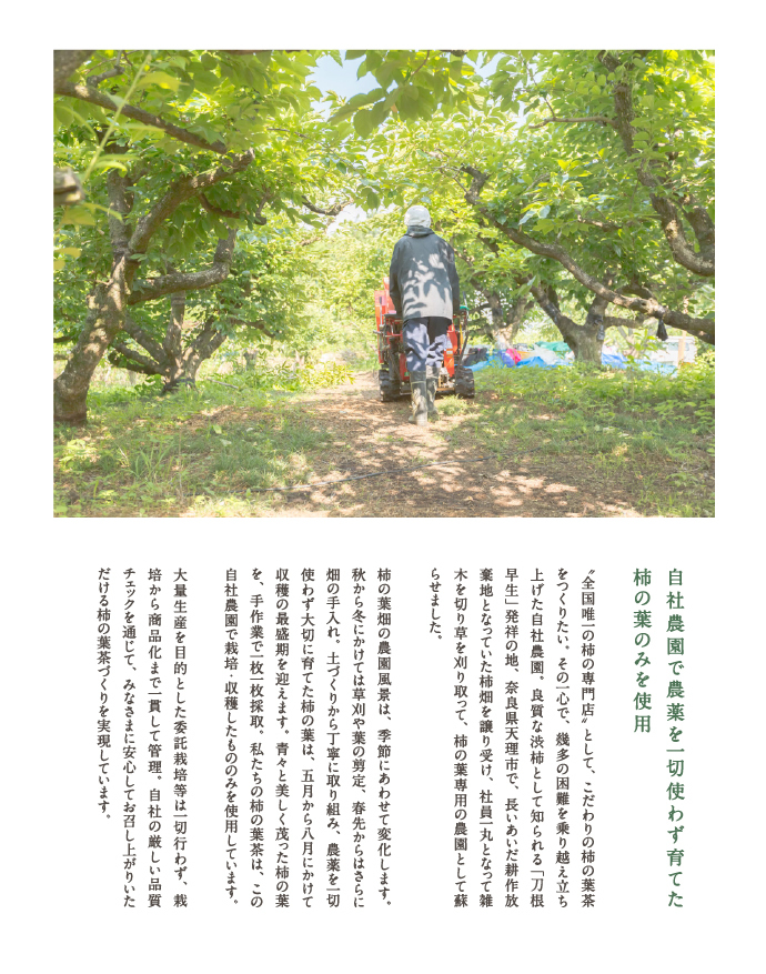 柿の葉専用 自社農園にて栽培の柿の葉